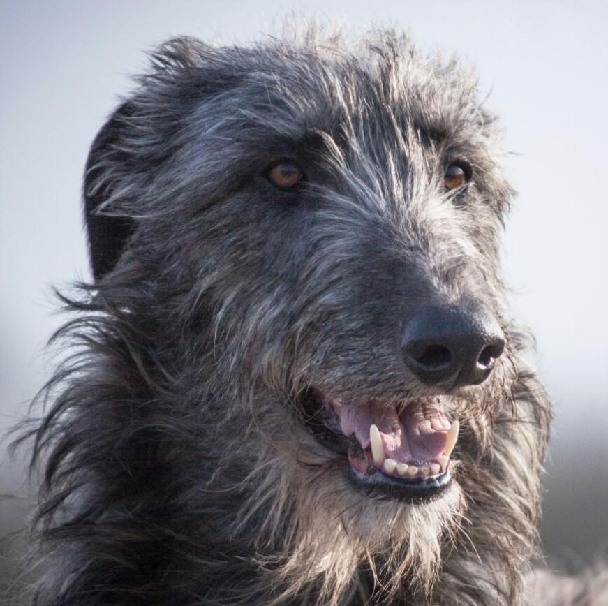 v.d. Flevomare – Deerhounds