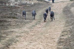 6 honden komen aanrennen