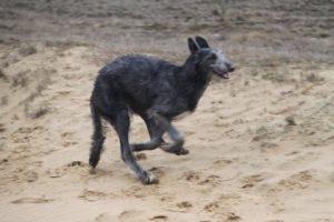 konijn deerhound